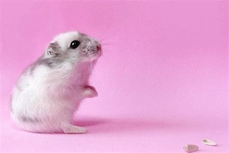 hamster mobile free hamster wallpapers for android hd