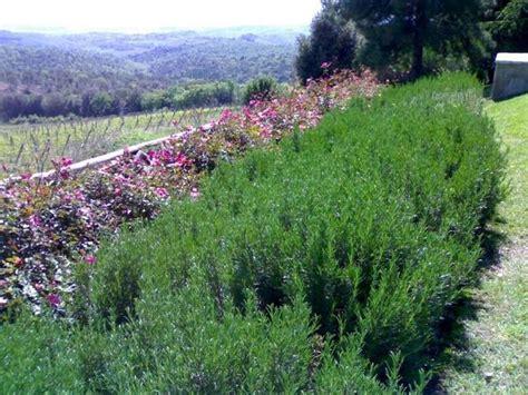 piante da giardino molto profumate siepi profumate siepi siepi con piante profumate