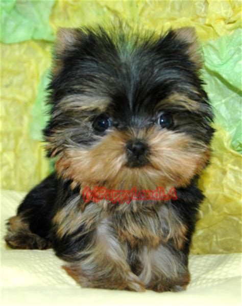 purebred yorkie cost purebred terrier puppies for sale find a purebred breeder near you