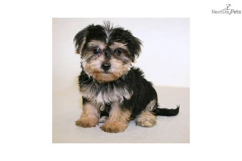 pictures of teacup yorkie poo puppies yorkiepoo yorkie poo puppy for sale near columbus ohio 9ba6ba22 e661