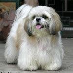 shih tzu personality problems shih tzu pictures puppies information temperament characteristics rescue