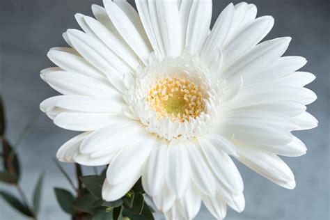 imagenes de gerberas blancas foto gratis gerbera flor blanco flor blanca imagen