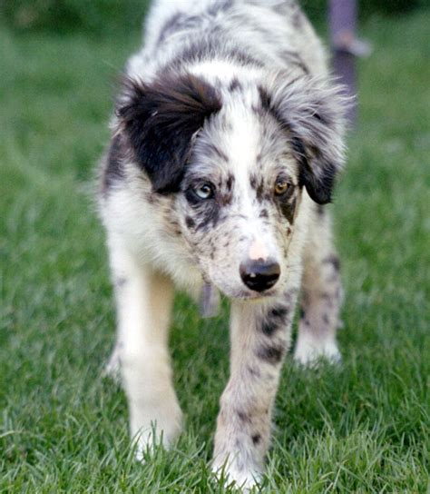 collie puppies saved by dogs kinds of collies big or something for most everyone