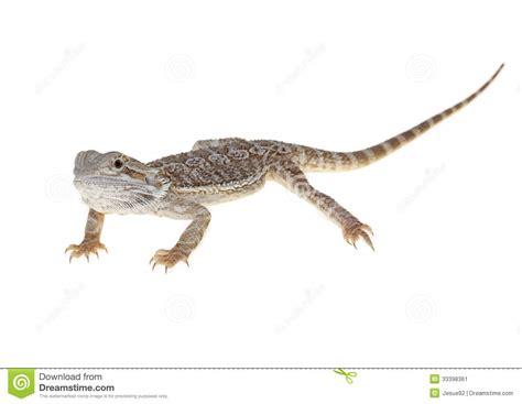 immagini lade lade per drago barbuto drago barbuto fotografia stock