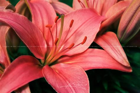 flower bloom pink asiatic lily flower in bloom