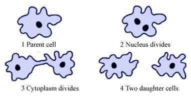 diagram of binary fission in amoeba binary fission in amoeba with diagram meritnation