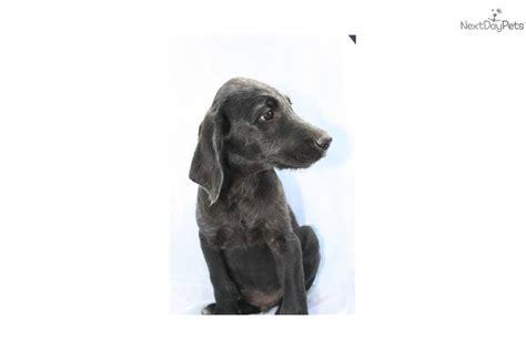 weimardoodle puppies for sale weimardoodle puppy for sale near lancaster pennsylvania d9497c46 2571