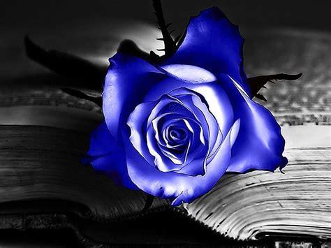 imagenes de rosas azules y negras rosa azul en un libro im 225 genes y fotos