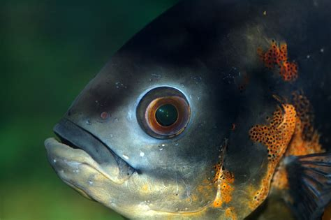 fish eye vision in fishes