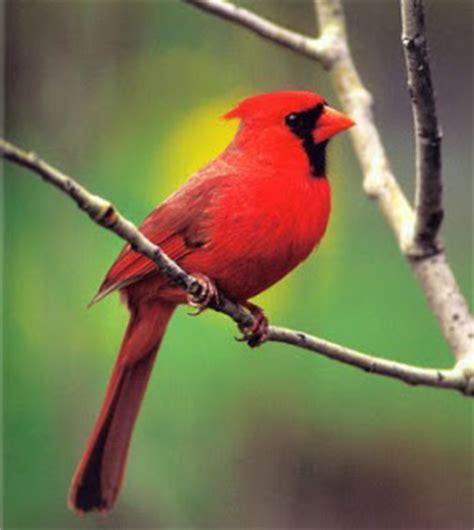 wwc bird crew blog bird profile northern cardinal