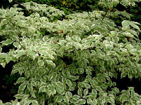 variegated dogwood tree garden inspiration