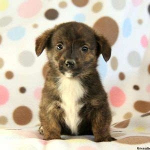 dorgi puppies for sale dorgi puppies for sale in de md ny nj philly dc and baltimore