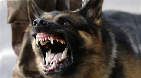 dogs with rabies el ni 241 o to cause increase in the number of rabies victims provincial vet warns