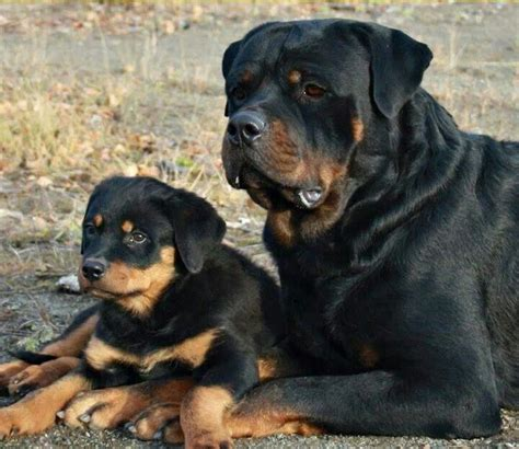 rottweiler mama y bebe canino pinterest rottweilers