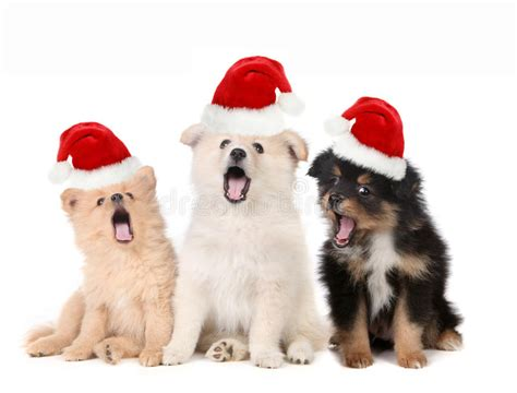 singing santa hats puppies wearing santa hats and singing stock