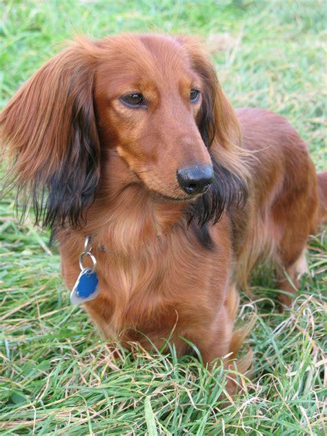 dotson dogs dogs dachshund