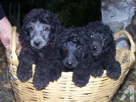 black standard poodle puppies silver or black standard poodle puppies 8 weeks males ofa akc for sale in bonners