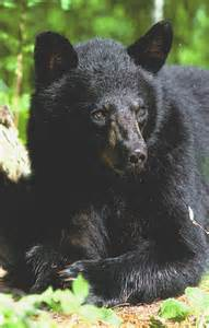 north american bear center black bear color phases