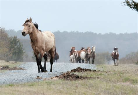 pony island picture7 10 fun things to do on chincoteague island with kids
