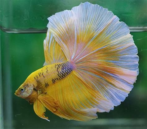 10 Best Images About Beta 141 best images about betta fish on copper
