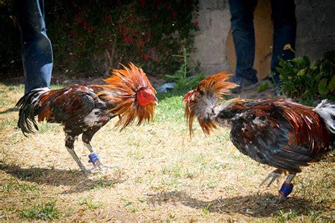 peleas de gallos mexicanos gallos de pelea mexicanos new style for 2016 2017