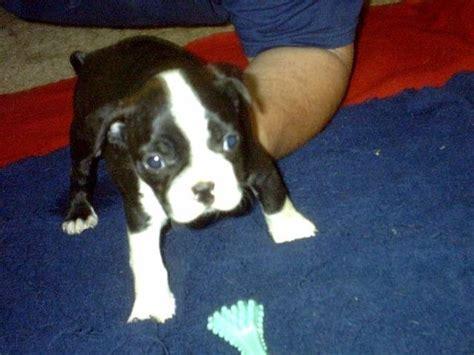 boston terrier puppies virginia akc boston terrier puppies is a boston terrier puppy in breeds picture