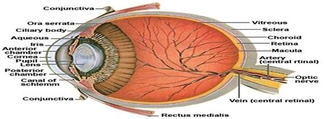 sectional anatomy of the eye anatomy of the human eye cross section view facebook
