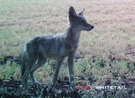 coyote challenge call six simple tips for calling coyotes 365 whitetail
