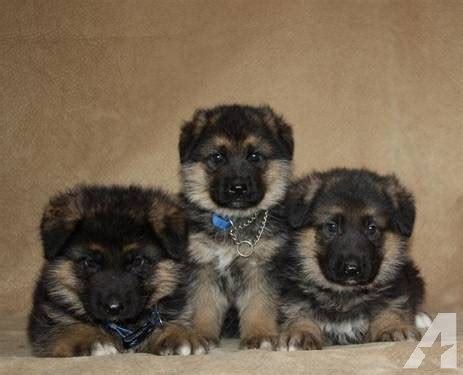 german shepherd puppies seattle akc german shepherd puppies for sale in seattle washington classified