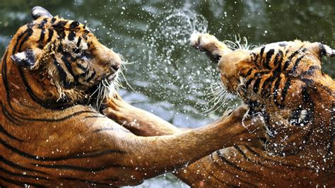 animals fighting 30 animals facts you want to know national geographic