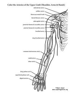 gray s anatomy coloring book free human skeleton skeletons and coloring on