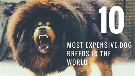 most expensive breeds the 10 most expensive breeds sutranews