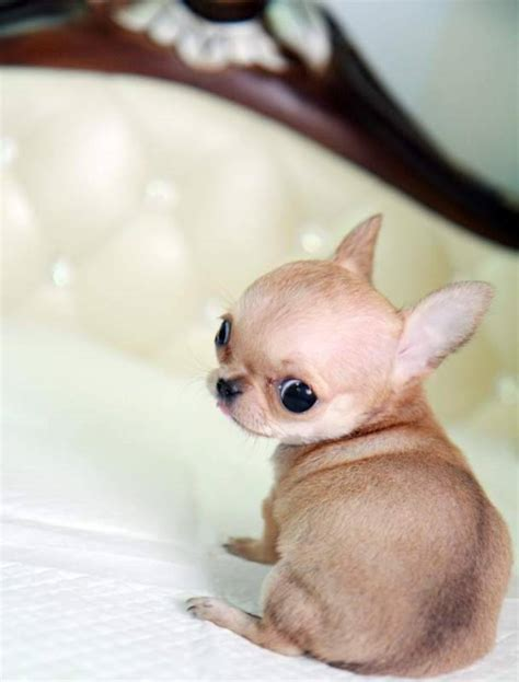 micro tiny chihuahua puppies for sale teacup micro pocket chihuahua puppies for sale breeds picture