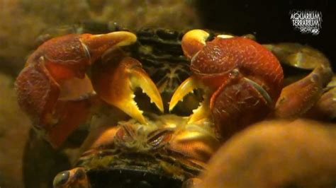 red claw crab red clawed crab care freshwater crab red clawed crab sesarma bidens copulation care of