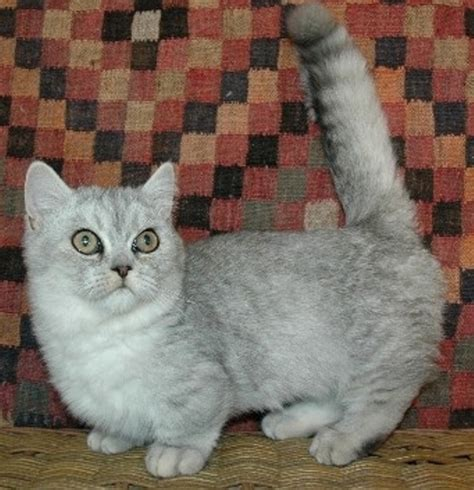 Napoleon Cat Info, History, Personality, Care, Kittens
