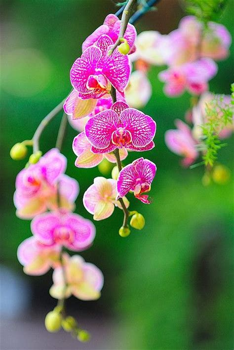 pink orchids bokeh photography flowers pink orchid flowers insects pinte