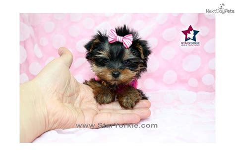 micro teacup yorkie for sale in louisiana micro pup tiny micro teacup yorkie puppy in la breeds picture