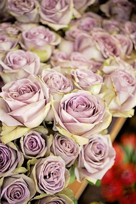 libro old roses una rosa un libro san jordi y el amor