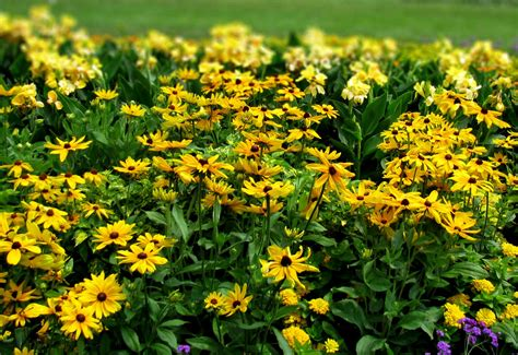 ornamental plants ornamental plants 28 images ornamental plant gold dust