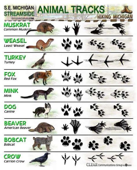 printable animal tracks flashcards animal tracks id sheets do you know your animal tracks