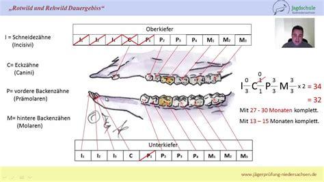wann beginnt die fuã wm j 228 gerpr 252 fung niedersachsen zahnformel rotwild und rehwild
