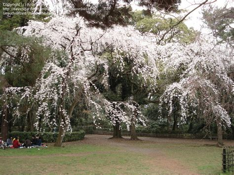 plantfiles pictures yoshino cherry japanese flowering