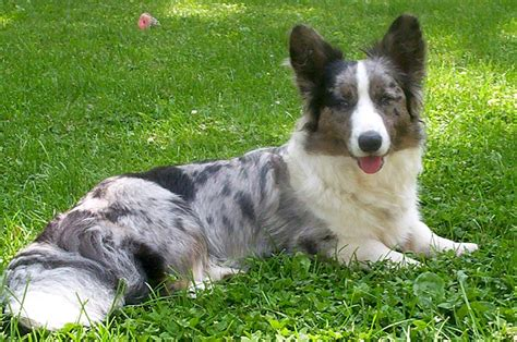 cardigan corgi puppies puppies and dogs pictures cardigan corgi reviews and pictures