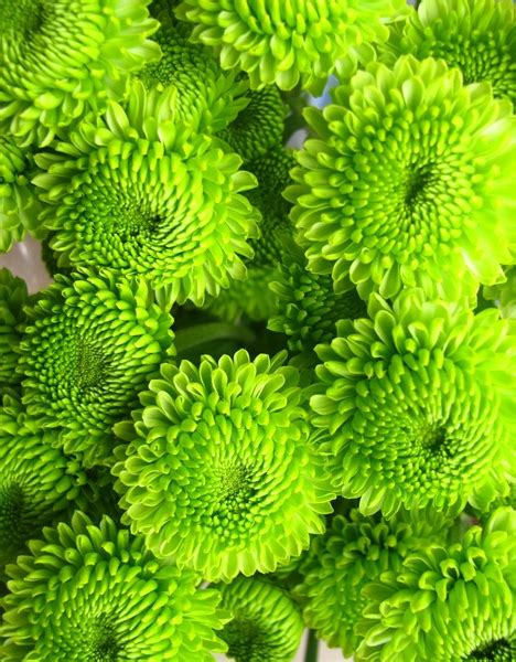 green wallpaper meaning moluccella flower facts moluccella flower meaning color