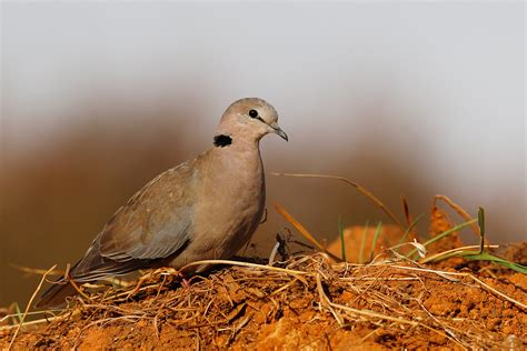 cape turtle dove bird wildlife photography by richard
