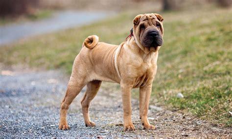 chronic diarrhea in dogs surgeon s corner enterotomy clinician s brief