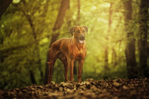 anaplasmosis in dogs anaplasmosis in dogs signs symptoms and treatment american kennel club