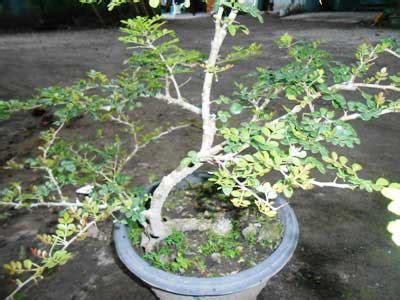 kawista batu bakalan bonsai berdaun kecil yang eksotis daun ijo