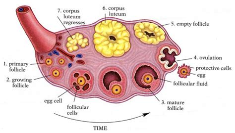 ovary diagram perseverance you be that one in a million the ovaries
