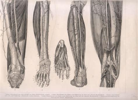 tavola anatomica muscoli anatomia medicina la puntasecca ste antiche